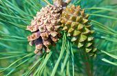 pic of pine-needle  - Green pine needles and two pine cones - JPG