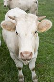 stock photo of charolais  - White Charolais cow on green meadow looking curious - JPG