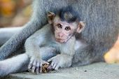 picture of baby-monkey  - A baby monkey rests under it