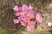 stock photo of siberia  - Pink and white crocuses bloomed in early autumn in Siberia at the dacha in Russia - JPG