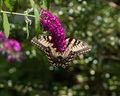 pic of butterfly-bush  - A Yellow Swallowtail butterfly feeding from a purple butterfly bush.