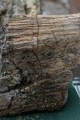 picture of petrified  - petrified wood found in a forest in South Dakota - JPG