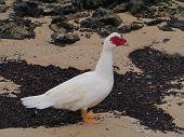 picture of atlantic ocean beach  - A Muscovy duck  - JPG