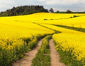foto of turnip greens  - Field of rapeseed  - JPG