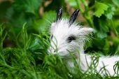 picture of chinese parsley  - Symbol of 2015 in the Chinese horoscope goat - JPG