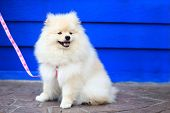 stock photo of miniature pomeranian spitz puppy  - white pomeranian puppy dog cute pet happy smily - JPG