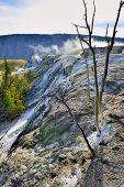 stock photo of walking dead  - dead trees in Grassy Spring area of Mammoth Hot Springs in Yellowstone National Park Wyoming - JPG