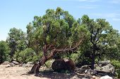 stock photo of promontory  - Juniper growin near a large rock in a desert area in southern Utah - JPG