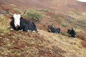 picture of yaks  - Tibetan yaks on the grass field in the mountains - JPG