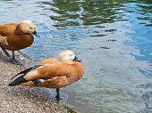 picture of duck pond  - Pair of two brown ducks next to the water pond - JPG
