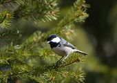 stock photo of tit  - Coal tit  - JPG