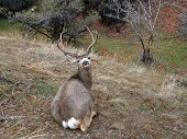 foto of mule  - Mule deer rests in a wood lot early in the spring - JPG