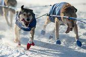 foto of sled-dog  - A sled dog team in the 2015 Yukon Quest - JPG