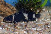 stock photo of catfish  - Nice dark light striped catfish on aquarium bottom - JPG