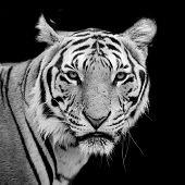 pic of tigers  - Tiger portrait of a bengal tiger animal wildlife black color background - JPG