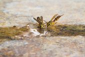 stock photo of hot water  - Two wasps drink water in one hot day in brazilian savannah  - JPG