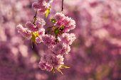 stock photo of marsala  - marsala toned pink flowers on the branches of Japanese sakura blossomed above fresh green grass in spring - JPG