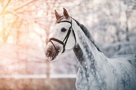 pic of winter sport  - Portrait of a gray sports horse in the winter at sunset - JPG