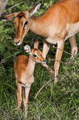 Постер, плакат: Baby Impala And Mother