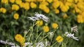 picture of grassland  - Grassland daisy flowers in the garden and wild