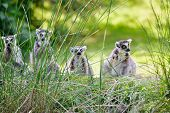 pic of nose ring  - Lemurs eating straws while sitting on green grass in summer sunny day - JPG