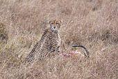 stock photo of killing  - Cheetah and its kill Masai Mara National Reserve Kenya East Africa - JPG