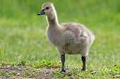 picture of canada goose  - A little Canada Goose  - JPG