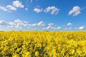 picture of rape-field  - yellow rape flower field and blue sky Groningen Netherlands - JPG