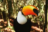 picture of brasilia  - Wild toucan in jungle on the borders of Brasilia and Argentina - JPG