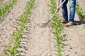 picture of hoe  - The worker hoeing the young corn field - JPG