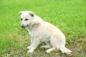 picture of stray dog  - White stray dog over green grass background - JPG