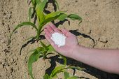 stock photo of fertilizer  - The hand full of fertilizer above young green corn - JPG