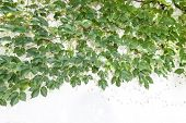 stock photo of ivy vine  - ivy leaves isolated on a white background - JPG