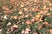 stock photo of canada maple leaf  - image of yellow maple leafs on earth - JPG