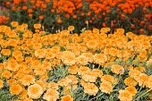 foto of yellow buds  - Marigold flowerbed of golden yellow flowers with buds - JPG