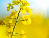 stock photo of rape  - Blooming canola flowers close up - JPG