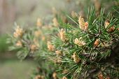 Постер, плакат: Pine Tree With Green Pine Branches Pine Tree Needle Leaves Closeup
