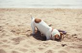 Small Jack Russel Puppy Dog Playing On The Beach poster