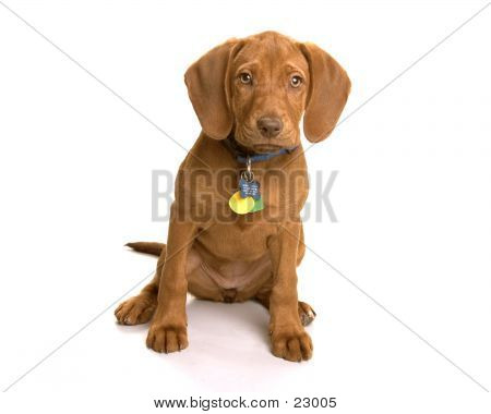 Picture or Photo of Wrigley the dog sitting on a white background