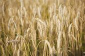 Wheat Spikelets, Cereal Grain, Seeds, Agriculture. Field Of Golden Wheat, Ripe, Harvest. Harvest Sea poster