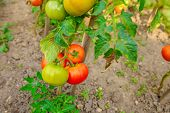 Ripe Tomatoes Growing On The Branches, Cultivated In The Garden, Gardening, Agriculture And Culinary poster