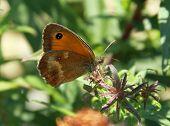 stock photo of gatekeeper  - gatekeeper butterfly is sitting on the bush in sunny day - JPG