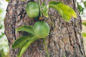 Green Passion Fruit Hanging On The Tree. Close Up View Of Passion Fruit On The Vine.   Passiflora Ed poster