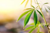 Green leaf of cannabis, background image. Thematic photos of hemp and marijuana poster