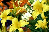 stock photo of asiatic lily  - Garden filled withn yellow and orange asiatic lilies - JPG