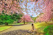 Unidentified Woman Relaxes Under Blossoming Cherry Tree In Shinjuku Gyoen National Garden. Shinjuku  poster