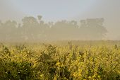 Sun Rises In The Background, Sunrays Falling Over A Green Agriculture Field Of Mustard Flowers. Rura poster