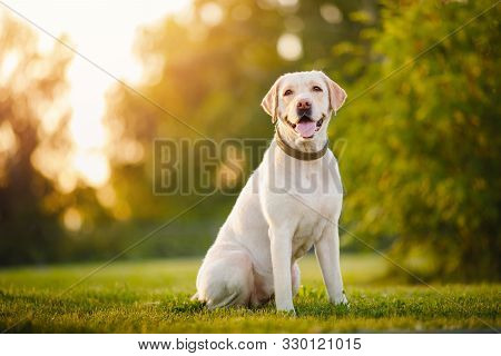 poster of Active, Smile And Happy Purebred Labrador Retriever Dog Outdoors In Grass Park On Sunny Summer Day