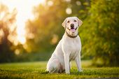 Active, Smile And Happy Purebred Labrador Retriever Dog Outdoors In Grass Park On Sunny Summer Day poster