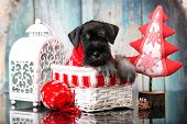 miniature schnauzer New Years puppy, Christmas dog poster